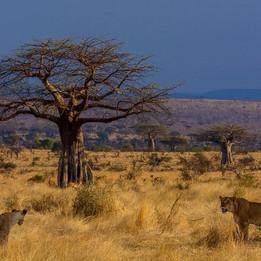 Ruaha National Park Lions