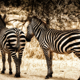 Lake Manayara Zebras