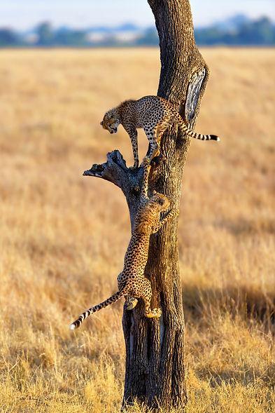 Cheetah-Serengeti-AROYÓ-Luxury-Safari.jpg