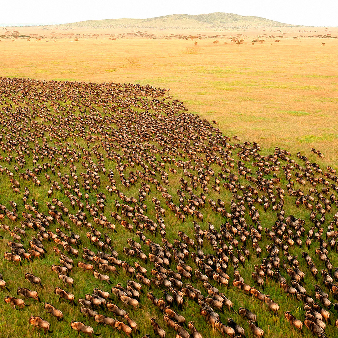 Serengeti, The Great