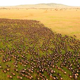 Serengeti, The Great