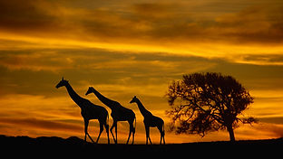 AROYÓ-Luxury-Safari-Girraffes-Tanzania.jpg