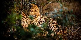 Uganda - Qeen Elizabeth National Park - Leopard