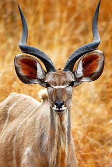 AROYÓ-Safari-Kudu-in-Serengeti-Tanzania.jpg