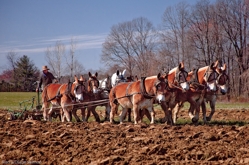 Salmon, Ron-Amish Draft Mule Team