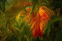 Chirieleison_Rainbow_Palm