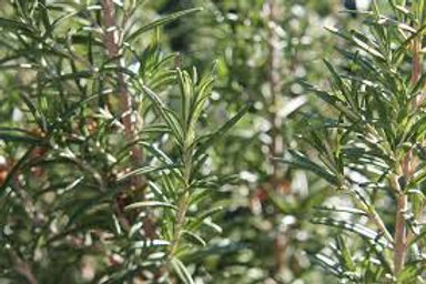 Rosemary 4 - ounces