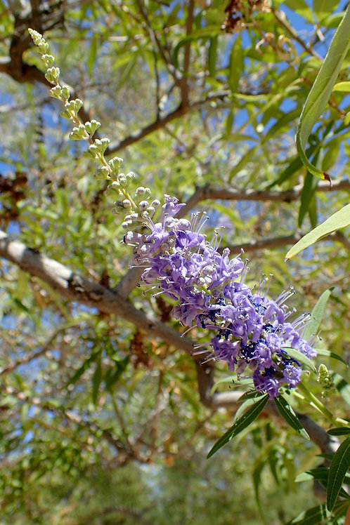 Chaste Tree Berries Vitex agnus-castus 4 - ounces
