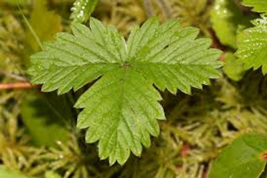 Strawberry leaf 4 - ounces