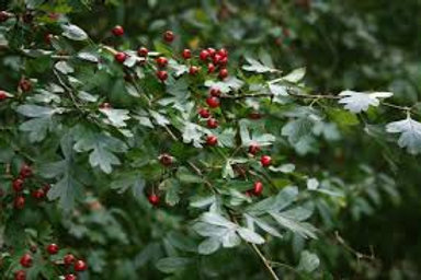 Hawthorn - 4 ounces