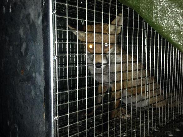 Fox in live trap.jpg
