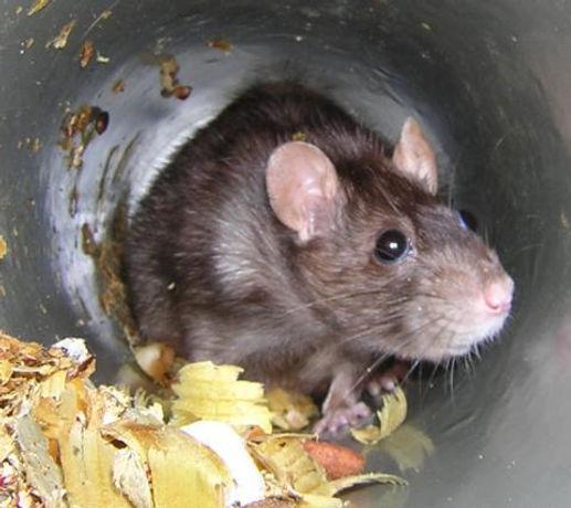 Rat in tunnel.jpg