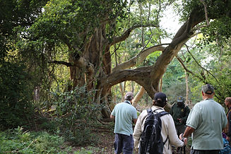 Fig Tree Forest Mkhuze