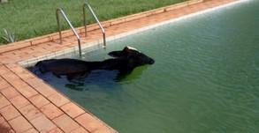 Vaca com cerca de 300 kg é resgatada dentro de piscina em Morrinhos, GO