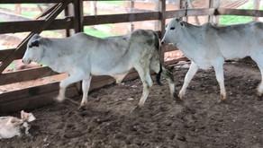 Gado furtado em Itumbiara é encontrado em fazenda de Buriti Alegre
