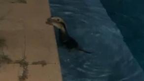 Tamanduá toma banho de piscina em casa de Caldas Novas