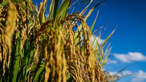 Soja, arroz e trigo têm desempenho positivo em Goiás