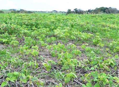 Agrodefesa reduz vazio sanitário da soja em seis dias