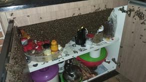 Milhares de abelhas invadem casa e tomam armário sob pia em Aparecida de Goiânia