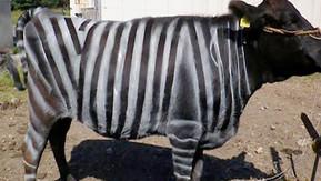 Cientistas estão pintando vacas como se fossem zebras – entenda o porquê
