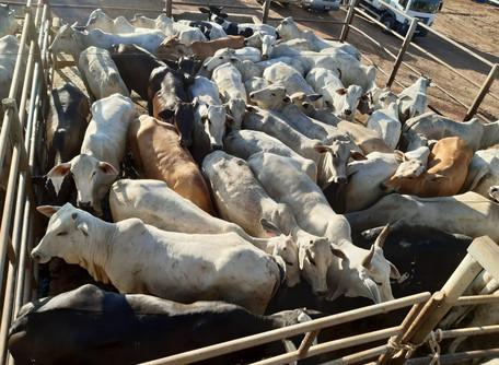 Quadrilha em Goiás, sonega R$ 1,5 milhão com transferência de gado para São Paulo