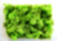Lichen vert citron.jpg