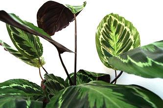 Plante 1.jpg