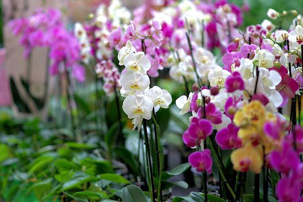 orchid-3479539_1280.jpg