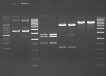 Restriction endonuclease analysis of plasmid DNA