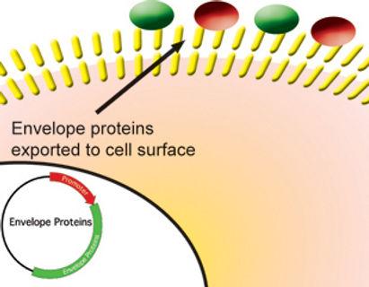Lentiviral production - envelope proteins