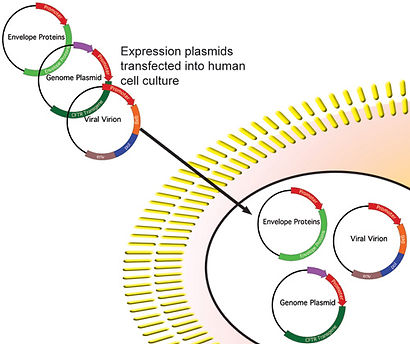 Lentiviral production - transfection of expresion plasmids