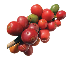 Coffee-Beans-PNG2-Image.png