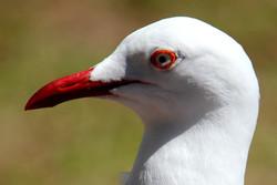 seagull eye.jpg