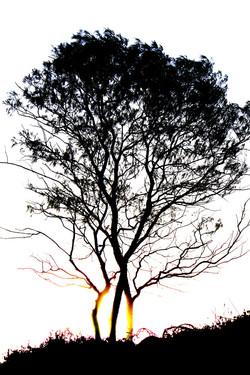 IMG_0718 tree silhouette 1.JPG