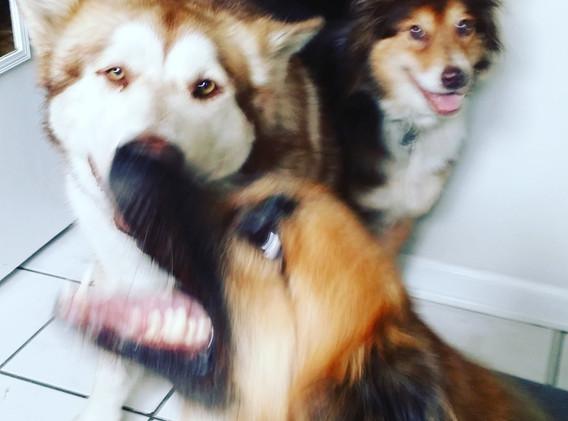 the 3 perro amigos