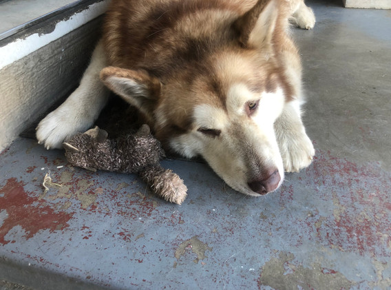 Loki with squirrel toy