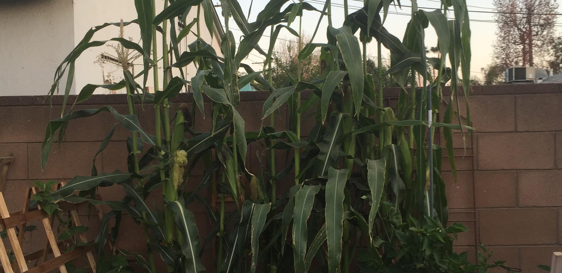 garden corn