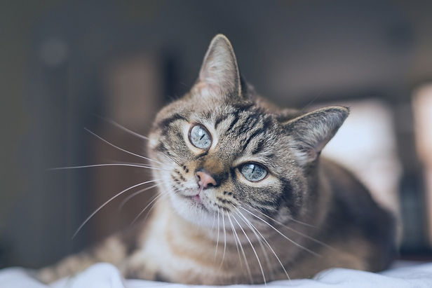 cat-with-blue-eyes-looks-at-camera-pictu