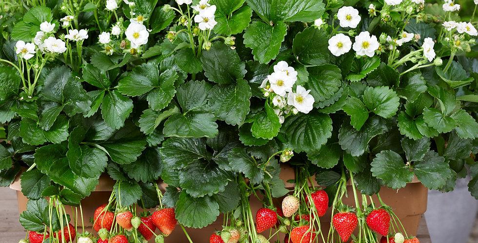 Erdbeeren (Fragaria Summer Breeze)
