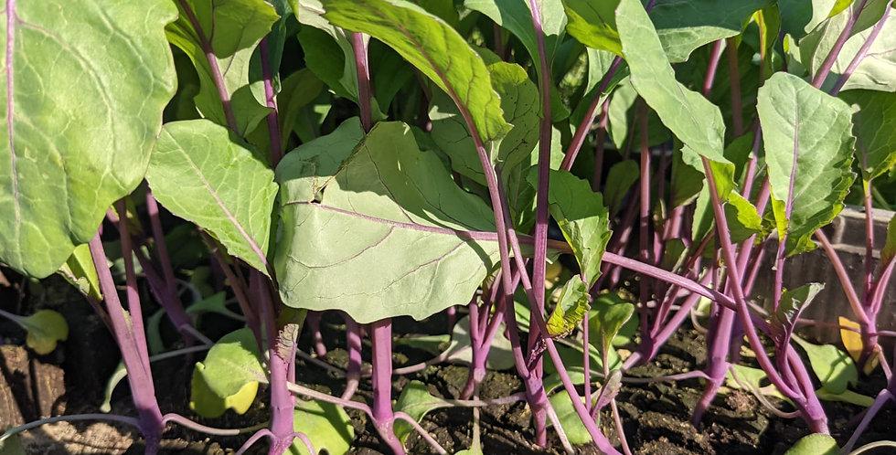 Böck Gemüsejungpflanzen