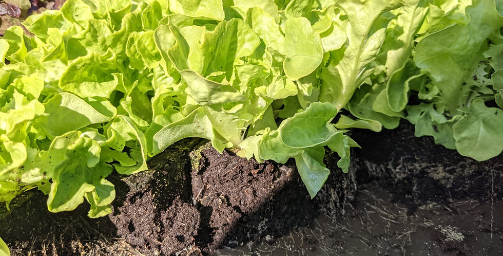 Böck Salatjungpflanzen