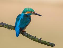 Worcs Kingfishers-0048.jpg