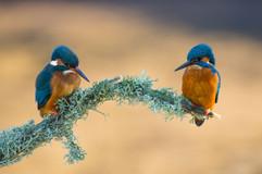 Worcs Kingfishers-0199.jpg