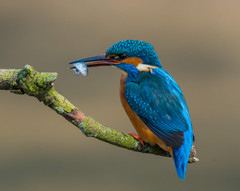 Worcs Kingfishers-0272.jpg
