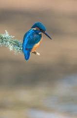 Worcs Kingfishers-0252.jpg