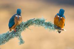 Worcs Kingfishers-0202.jpg