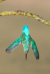Worcs Kingfishers-0001.jpg