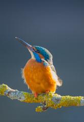 Worcs Kingfishers-0129.jpg