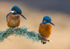 Worcs Kingfishers-0193.jpg