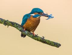 Worcs Kingfishers-0057.jpg